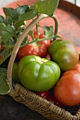 Beefsteak tomatoes (ripe & unripe) with leaves in a basket