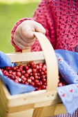Child's hand holding cranberries in woodchip basket