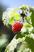 Raspberry on the plant