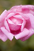 Pink rose with drops of water (close-up)