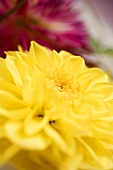 Yellow dahlia (close-up)