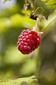 Raspberry on the plant (outdoors)