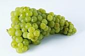 Green grapes, variety Muskateller