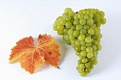 Green grapes, variety Muskateller, with leaf