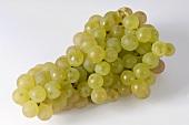 Green grapes, variety Gutedel