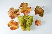 Grüne Trauben, Sorte Gutedel, mit Blättern
