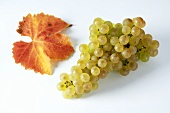 Green grapes, variety Gutedel, with leaf