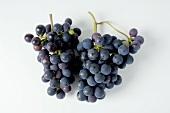 Black grapes, variety Spätburgunder