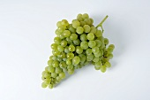 Green grapes, variety Précoce de Malingre