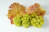 Green grapes, variety Queen of the Vineyard, with leaves
