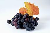 Black grapes, variety Trollinger, with leaf