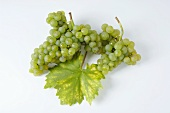 Green grapes, variety Rieslaner, with leaf