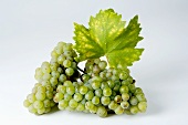 Green grapes, variety Riesling, with leaf