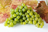 Green grapes, variety Silvaner, with leaves