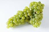 Green grapes, variety Weisser Gutedel