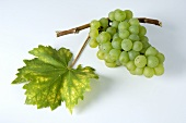 Green grapes, variety Weisser Elbling, with leaf