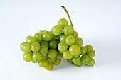 Green grapes, variety Moria Muskat
