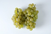 Green grapes, variety Auxerrois