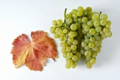 Green grapes, variety Chardonnay