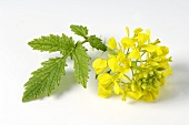 Yellow mustard flower with leaf