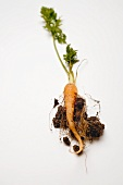 Young carrot with soil