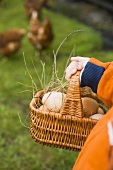 Kinderhand mit Eierkorb, freilaufende Hühner auf Wiese