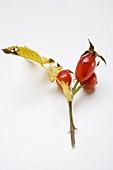 A sprig of rose hips