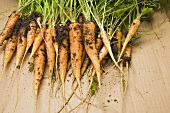 Young carrots with soil
