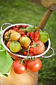 Various types of tomatoes in colander on chair out of doors