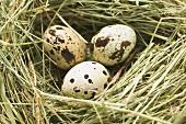Three quail's eggs in a nest