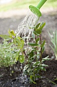 Watering bay plant