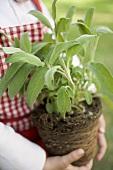 Child holding sage plant