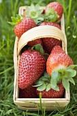 Fresh strawberries in woodchip basket on grass