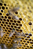 Honeycomb with bees (close-up)