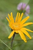 Arnica flower in the open air
