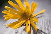 Arnica flower (close-up)