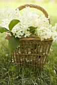 Elderflowers in basket on grass