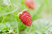 Wild strawberry on the plant (close-up)