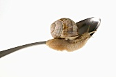 Live snail on spoon