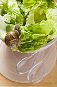 Life snail on lettuce in bowl, salad servers