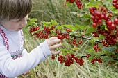 Child picking redcurrants from bush