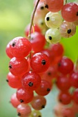 Redcurrants on the bush (close-up)