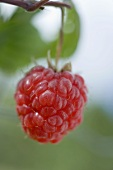 Raspberry on the cane (close-up)