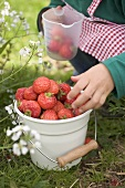 Child with bucket full of strawberries & measuring jug in garden