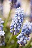 Blue grape hyacinths