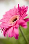 Pink gerbera