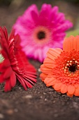 Three gerberas (red, pink and orange)