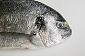 Gilthead bream (head)