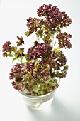 Thyme flowers in a glass of water