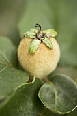 Quince on branch